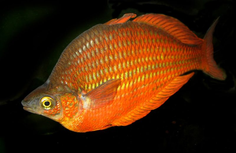 Pet Seat Covers >> Australian Rainbowfish | Animalplex