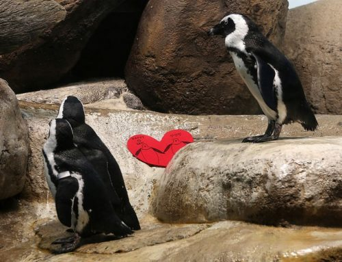 Penguin Love Triangle: Video of Bloody Battle Between Penguins Goes Viral