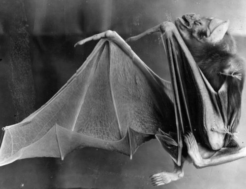 Not Twilight! Vampire Bats Develop a Taste for Pigs, Possible Health Threat to Humans