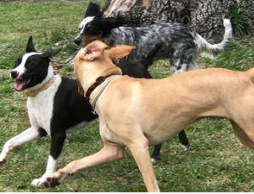 Secret Dog Languages and How to Decipher them