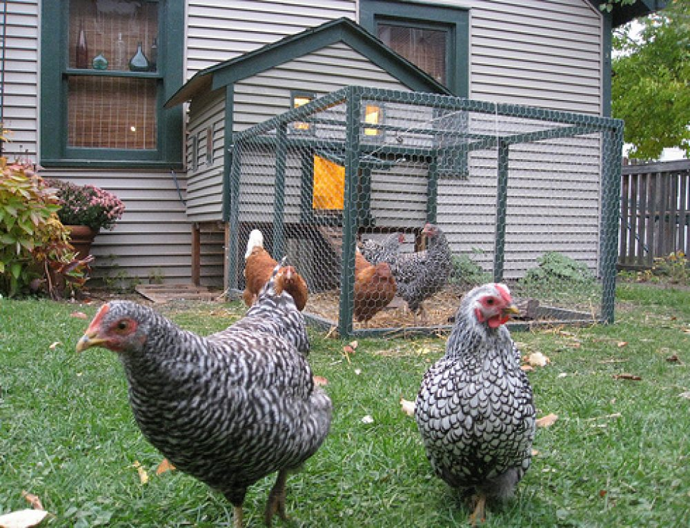 Urban Chicken Farming