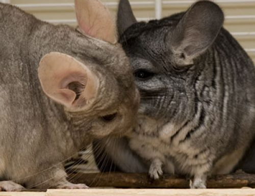 Everyday Care for Chinchillas