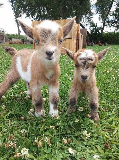 Keeping A Backyard Goat