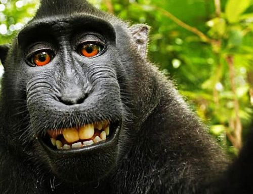 Famous Monkey Selfie Resulting in a Court Case