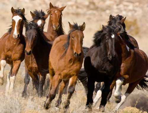 Will Wild U.S. Horses Be Slaughtered?