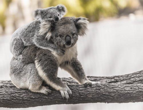Save the Koala Month