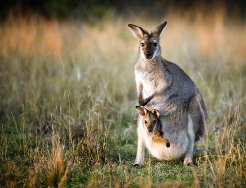 Why do Kangaroos Have Pouches?