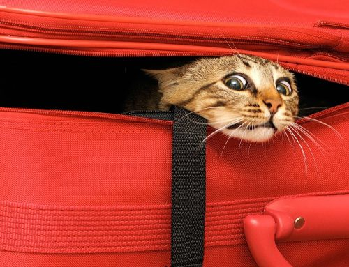 Travel With Your Feline in Style