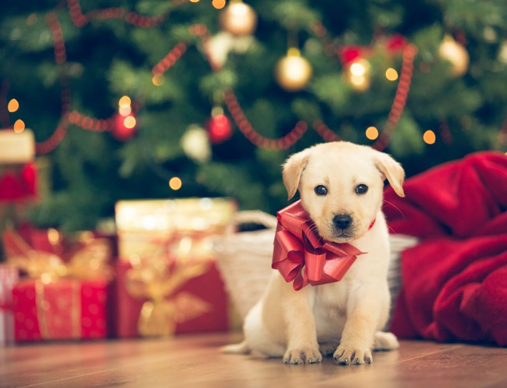 Considering A New Puppy for Christmas?